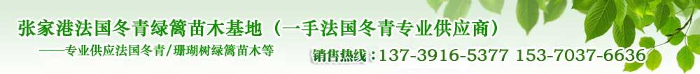 江苏苏州张家港法国冬青(珊瑚树)苗木基地,售苗热线:15370376636 13739165377