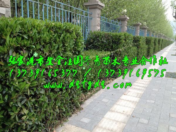 高低错落的造型法国冬青绿篱